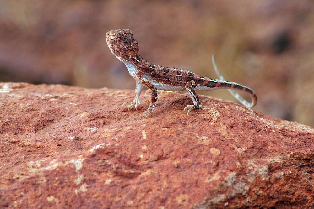 Goanna - Ein Gecko auf dem Fels