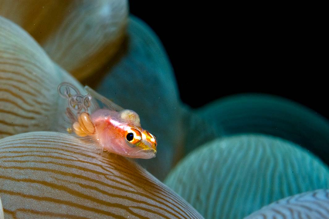 goby with parasites