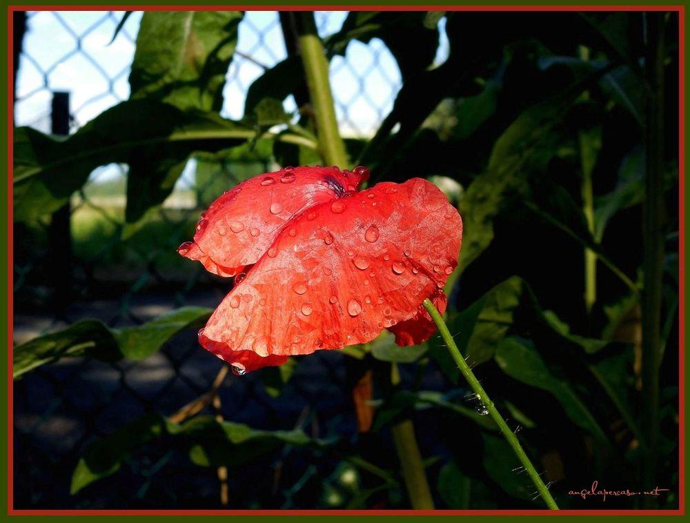 gocce di pioggia papavero