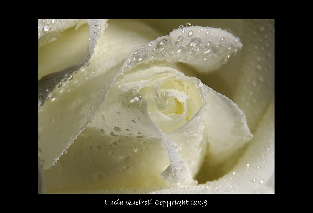 gocce di rugiada su rosa bianca