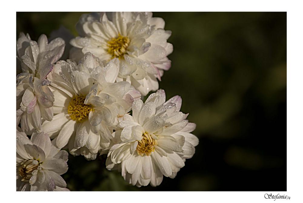 ...Gocce sui fiori...