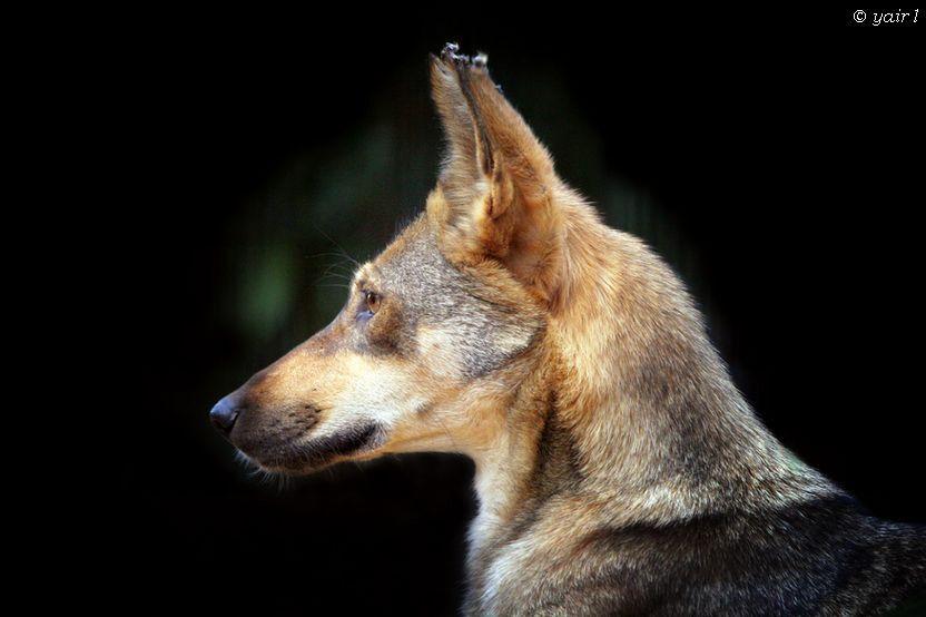 Golan Heights wolf