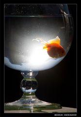 Gold Fish2