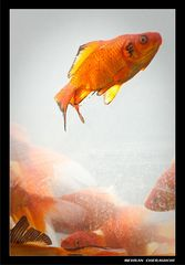Gold Fishes 2