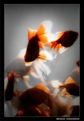 Gold Fishes3