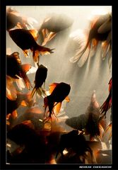 Gold Fishes4