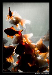 Gold fishes5