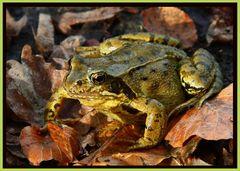 Gold-Frosch