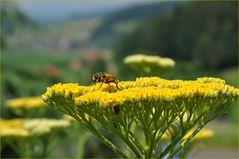 Gold-Schafgarbe (Achillea filipendulina)