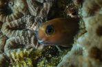 Gold-Schleimfisch