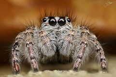 Goldaugen-Springspinne/Weibchen (Philaeus chrysops)