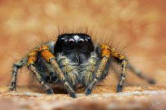 Goldaugenspringspinne-Männchen (Philaeus chrysops)