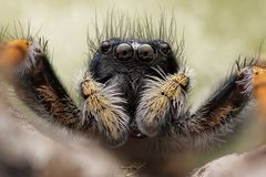 Goldaugenspringspinne Männchen philaeus chrysops