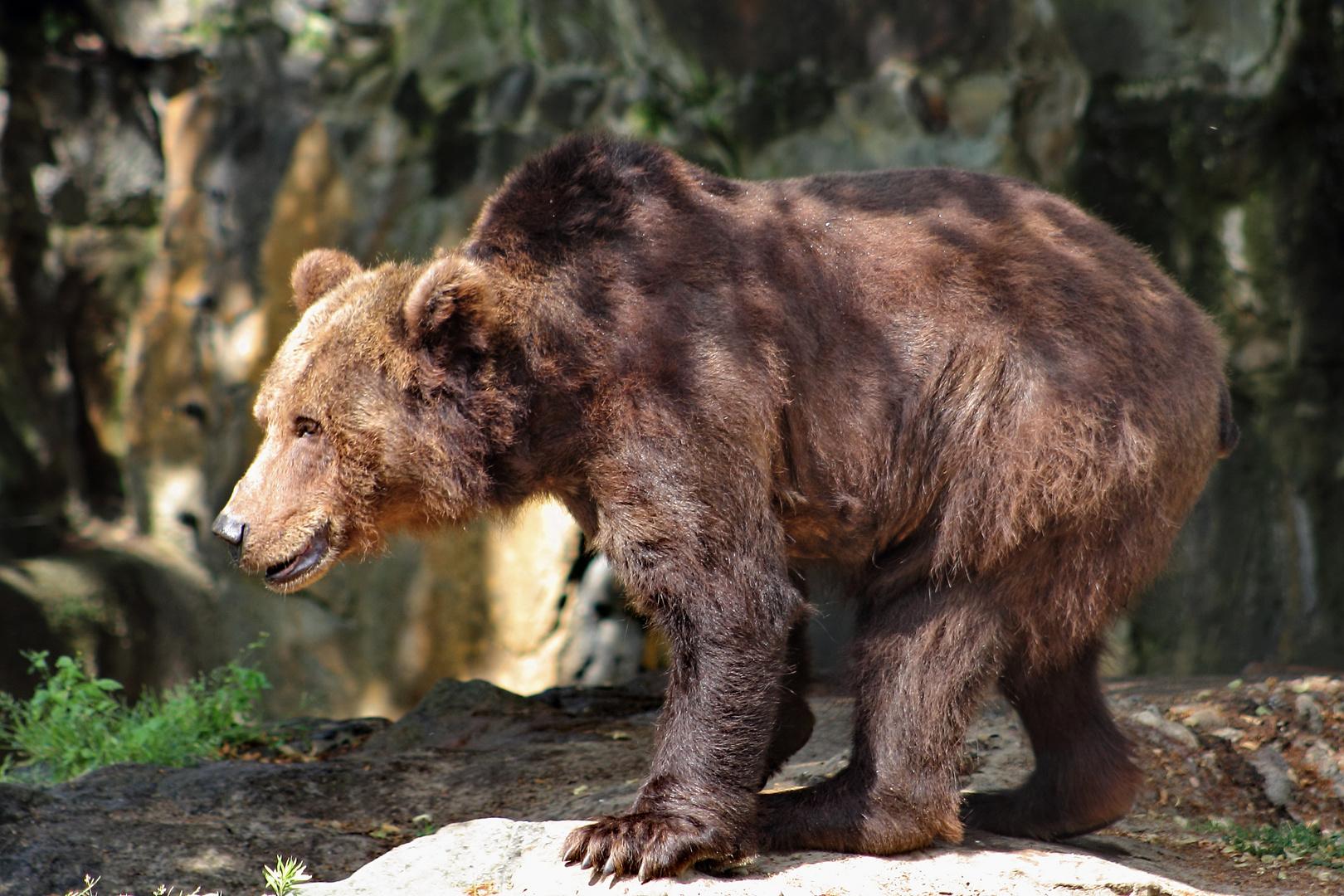Goldbär