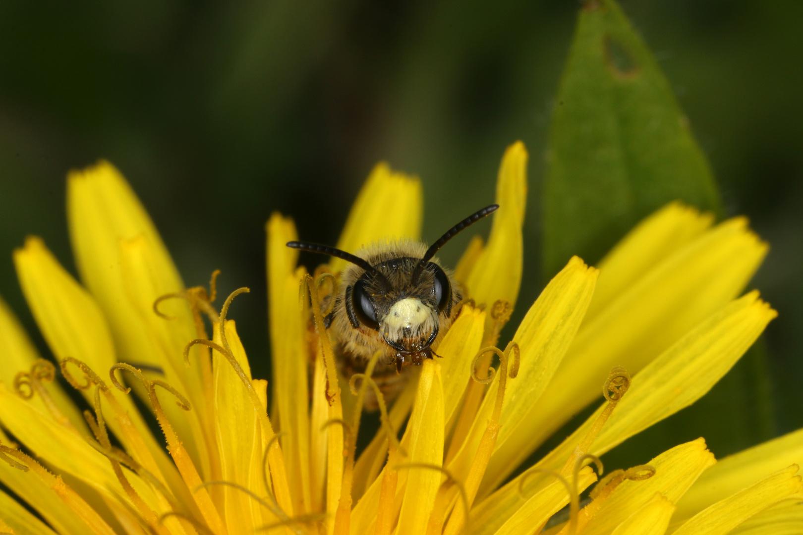 Goldbeinige Sandbiene Andrena chrysosceles - Männchen
