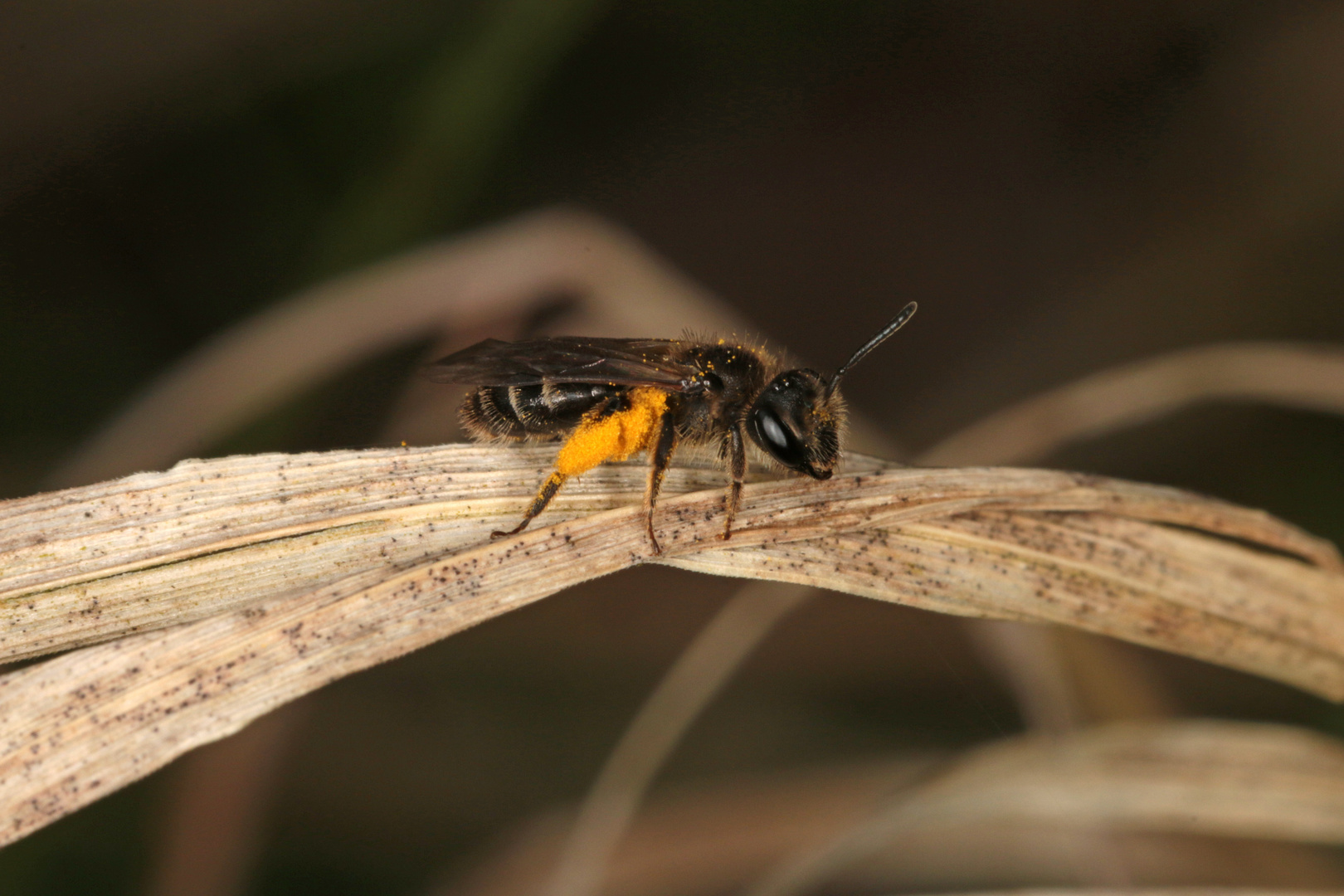 Goldbeinige Sandbiene Andrena chrysosceles - Weibchen