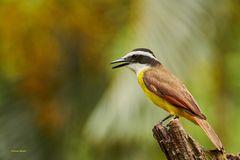Golden-bellied Flycatcher, Goldbauchtyrann