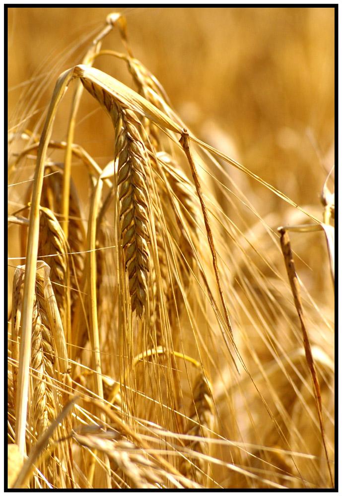 golden ear of corn