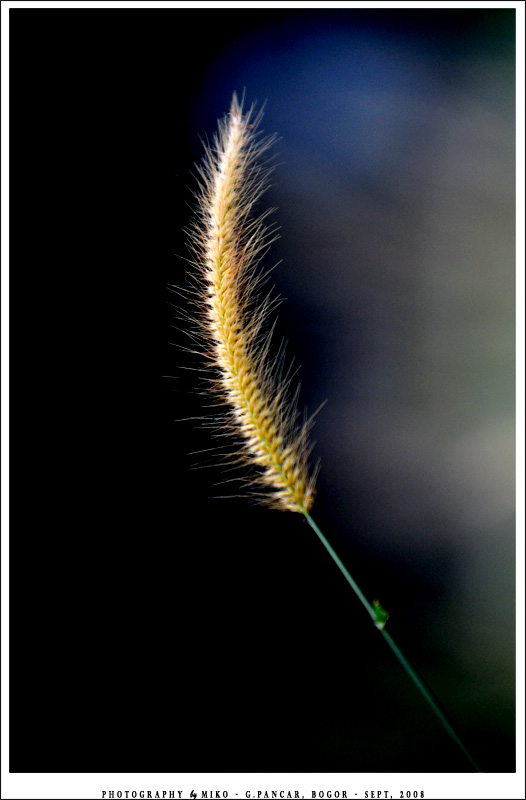 .:: GOLDEN GRASS ::.