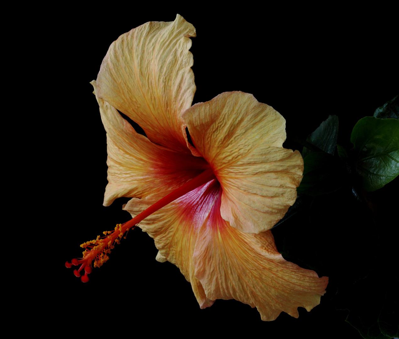 Golden Hibiscus flower