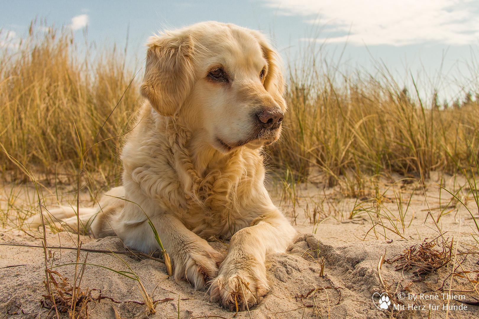hunde bilder golden retriever  vorlagen zum ausmalen