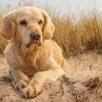 Golden Retriever - Goldi´s Strandleben