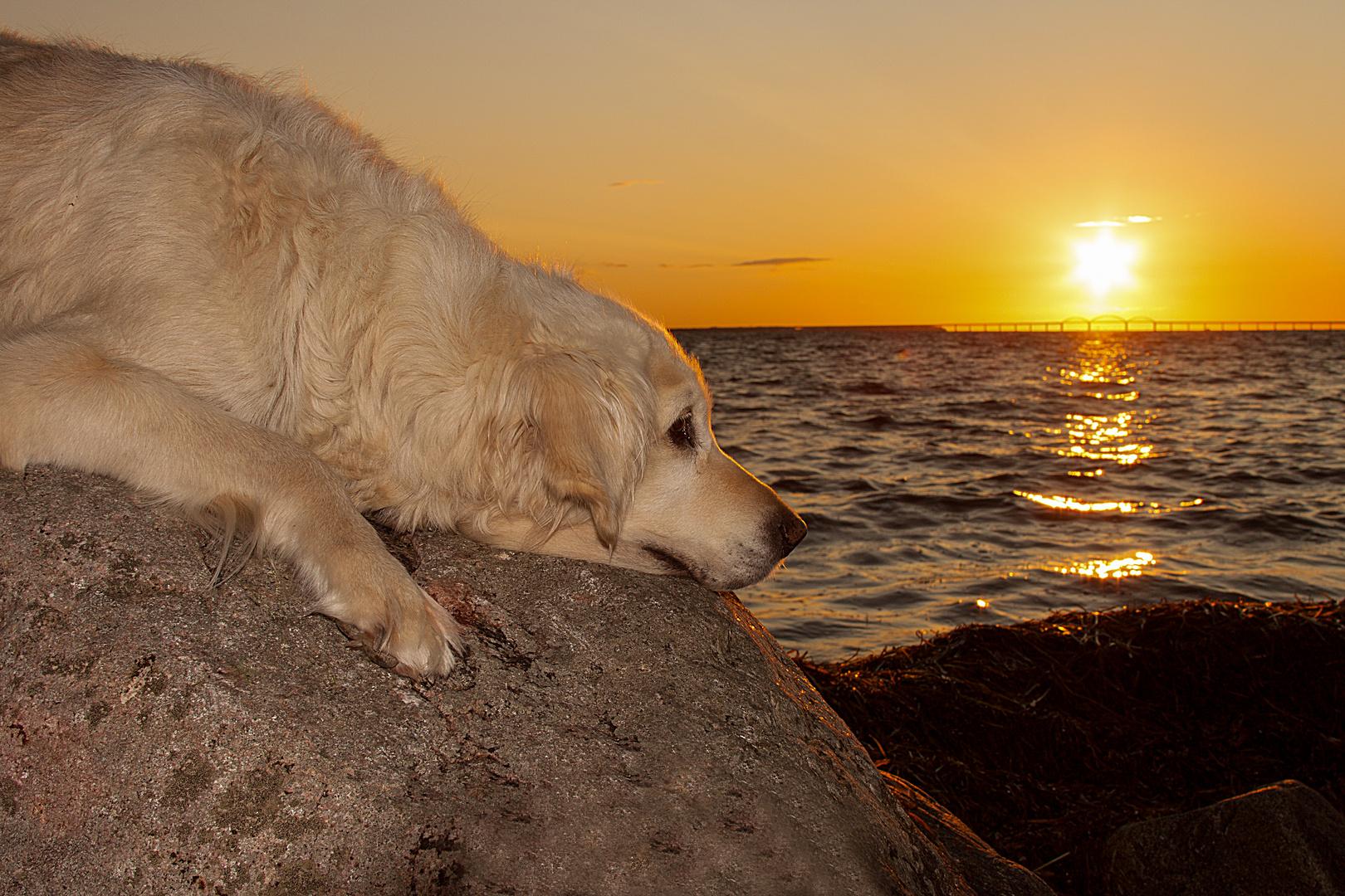 Golden Retriever - Seelenhund