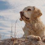 Golden Retriever - Strandaussichten von Goldi