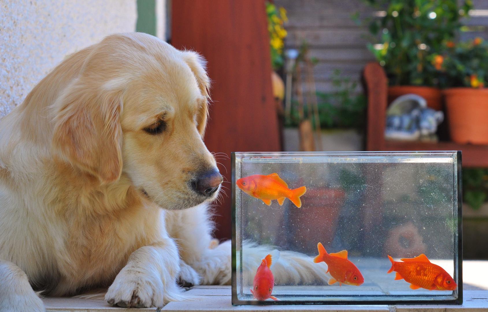 Golden Retriever trifft Goldfisch !