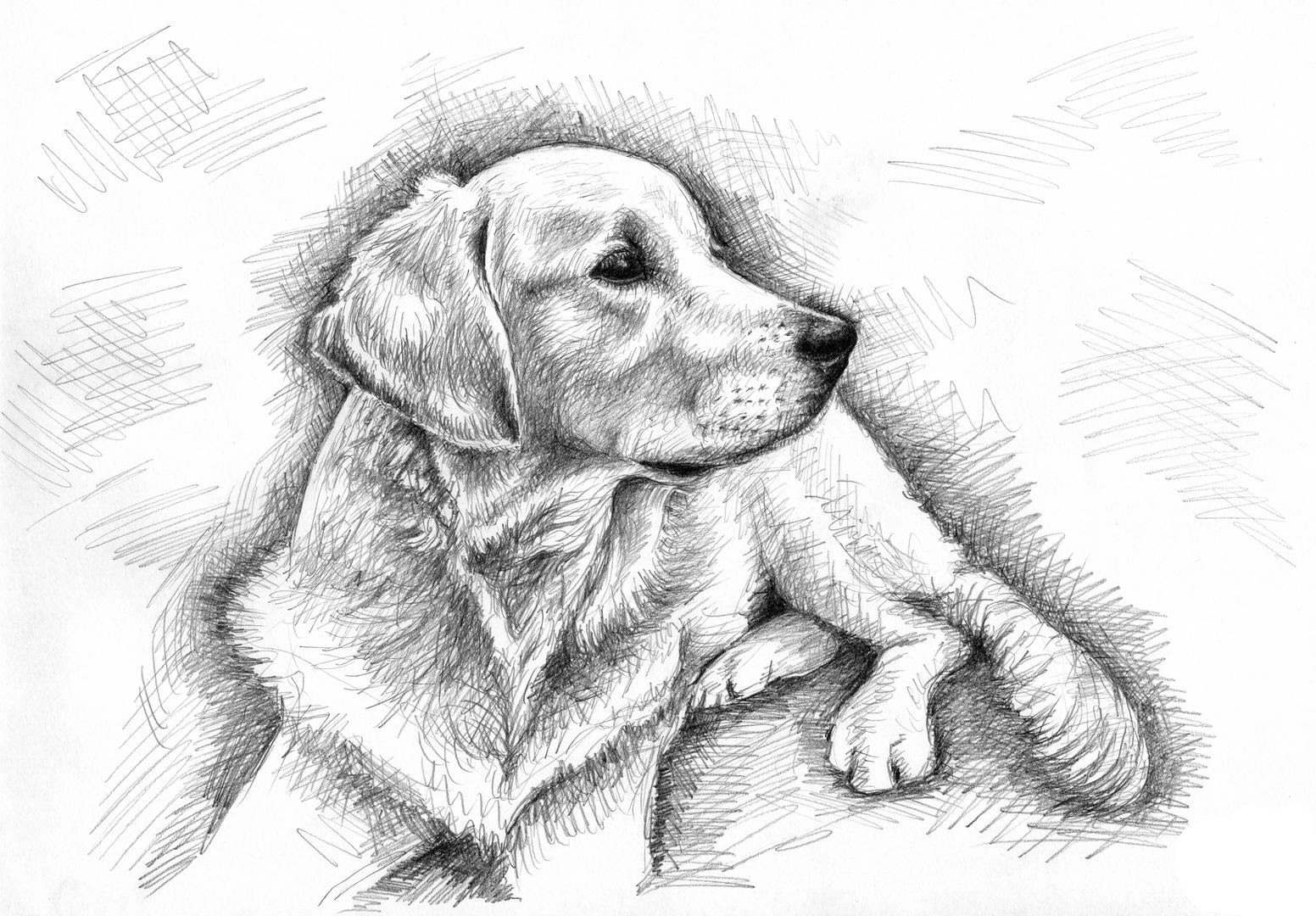 Golden Retriever Zeichnung