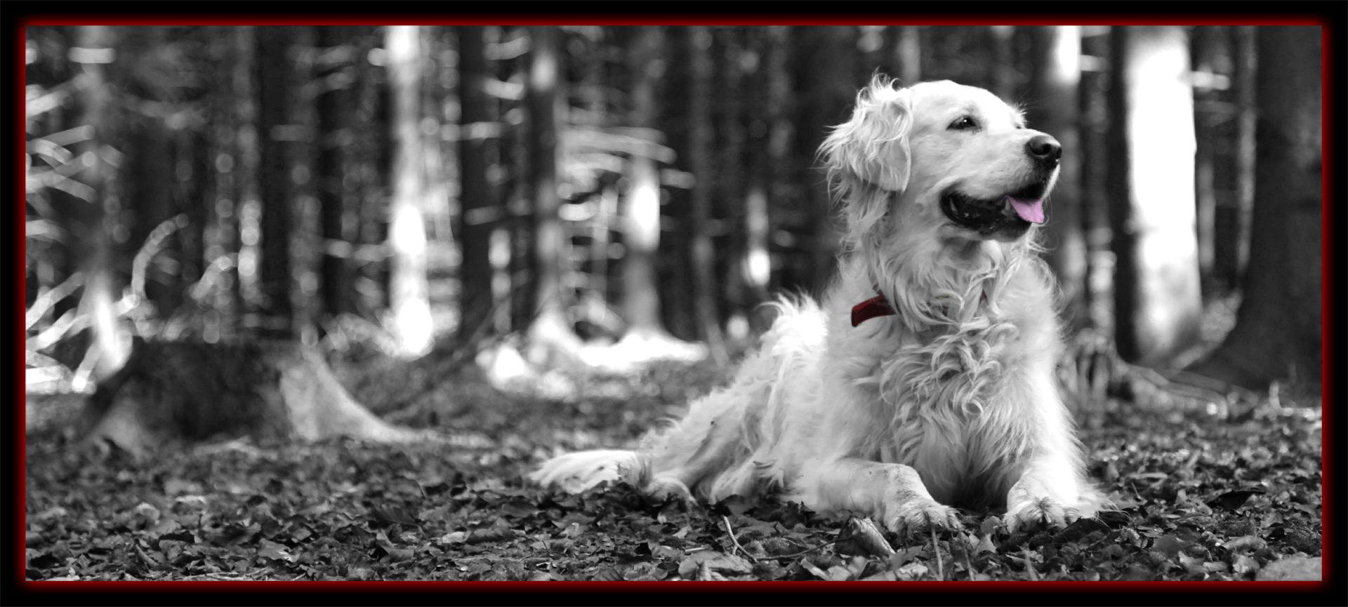 Golden Retriver beim Fotoshooting im Wald