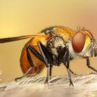 Goldene Fliege