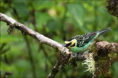 Goldeneared Tanager (Tangara chrysotis)