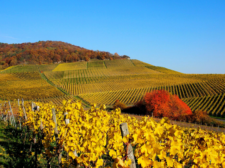 Goldener Herbst am Weinberg