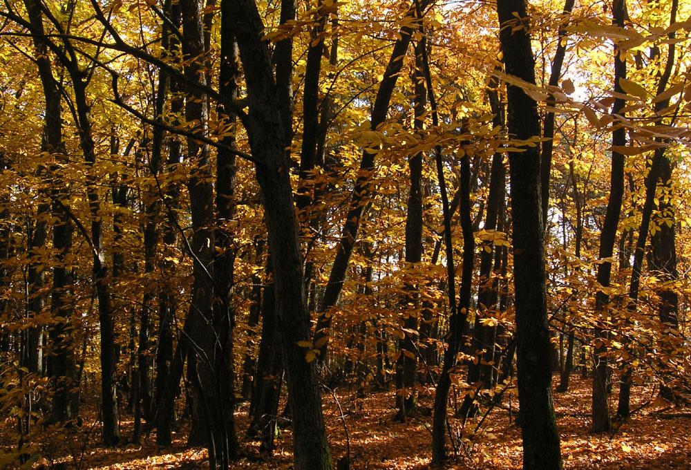 goldener Herbst in der Pfalz (1)