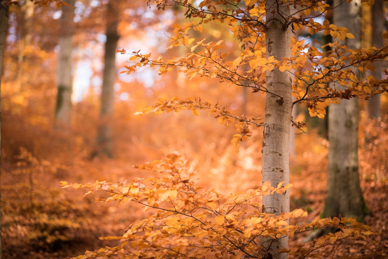 goldener Herbstwald