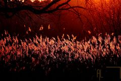 Goldenes Schilf im Abendlicht