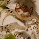 Goldenrod Spider (Misumena vatia)