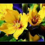 Goldfelberich ....(Lysimachia punctata)