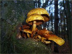 Goldfellschüpplinge - Pholota aurivella