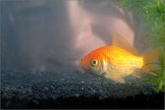 ~ Goldfisch ~