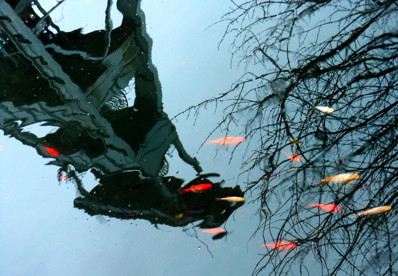Goldfische im Regen