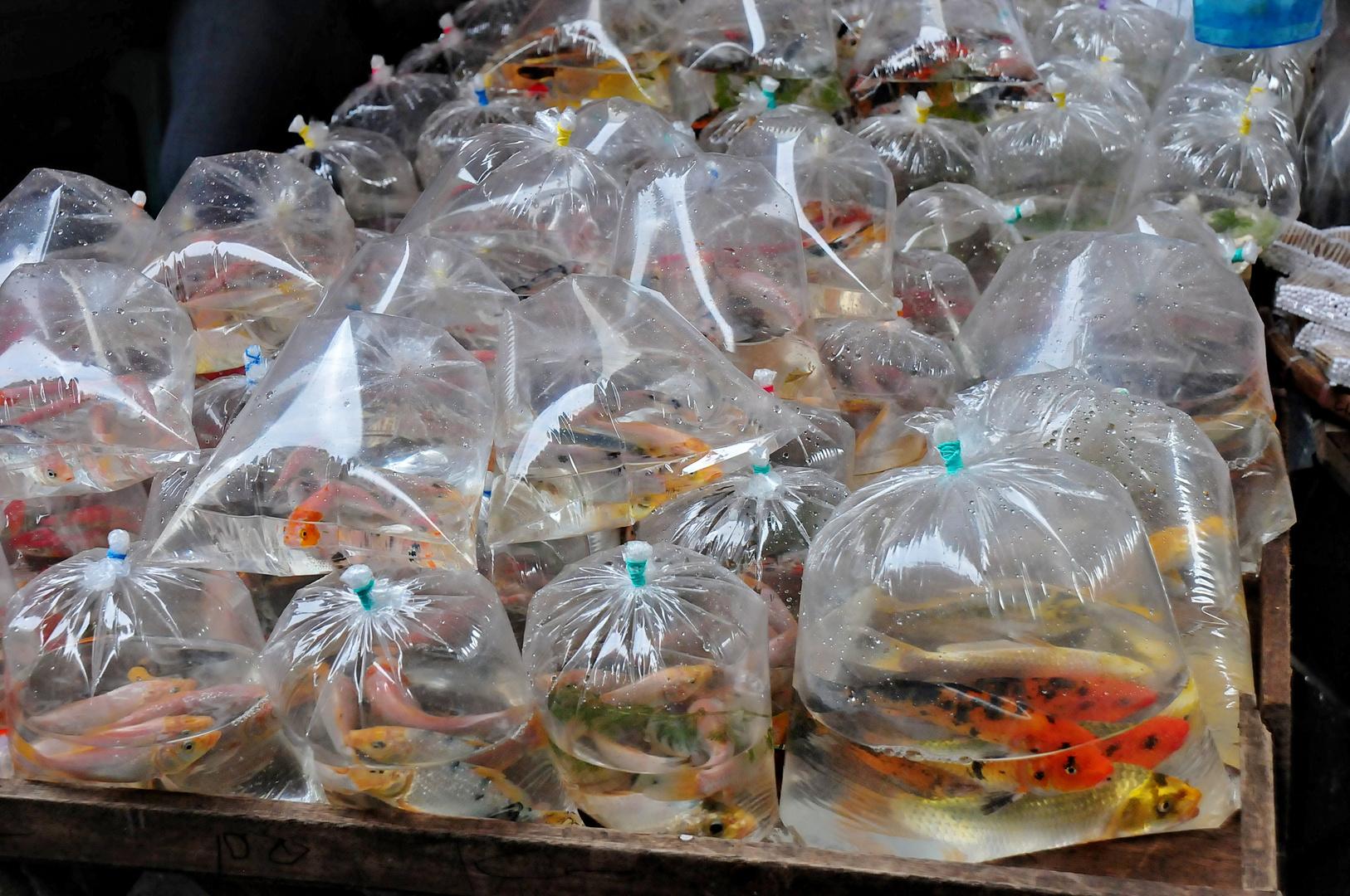 """"""" Goldfische """" , Manila - Sta. Cruz Markt 2012"""