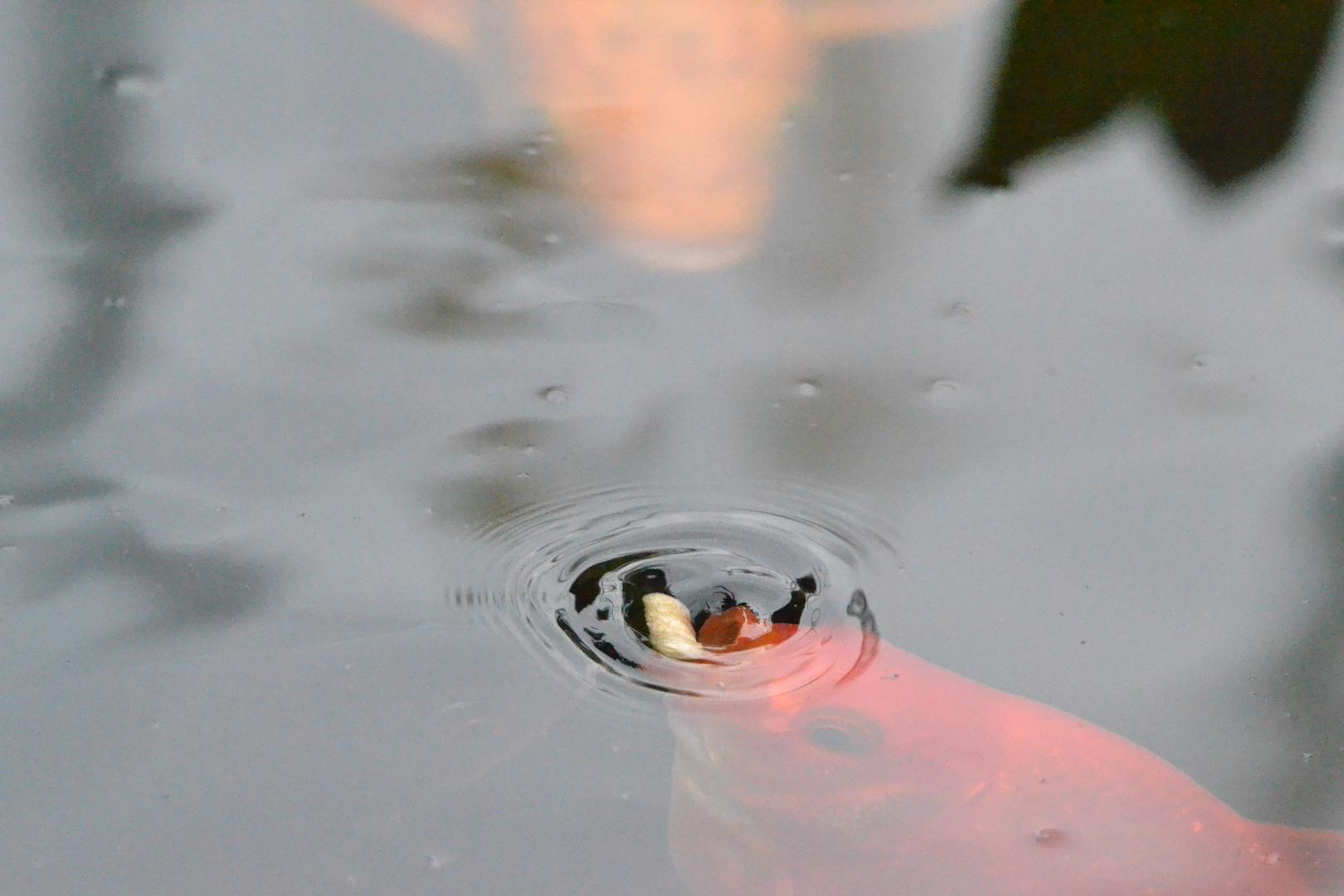 Goldfischfütterung im eigenen Fischteich