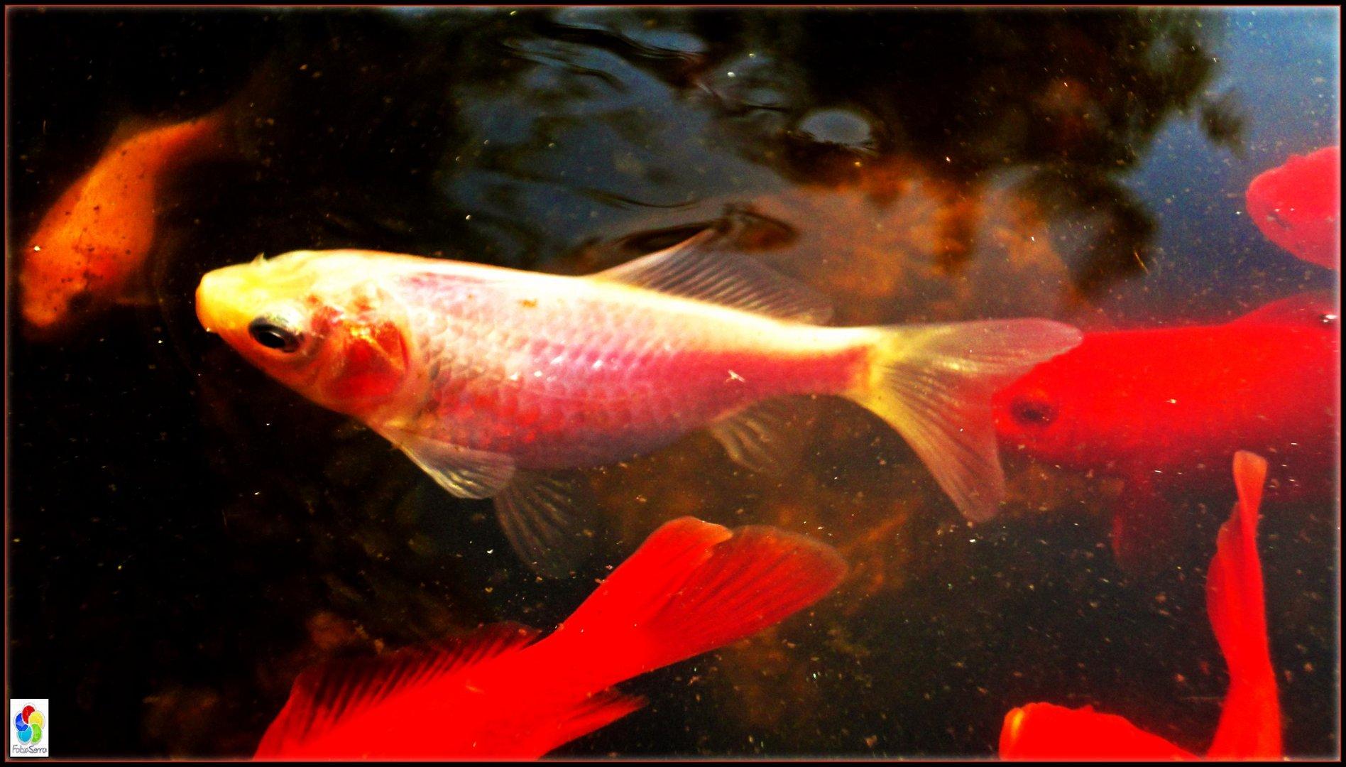 _GoldFish_