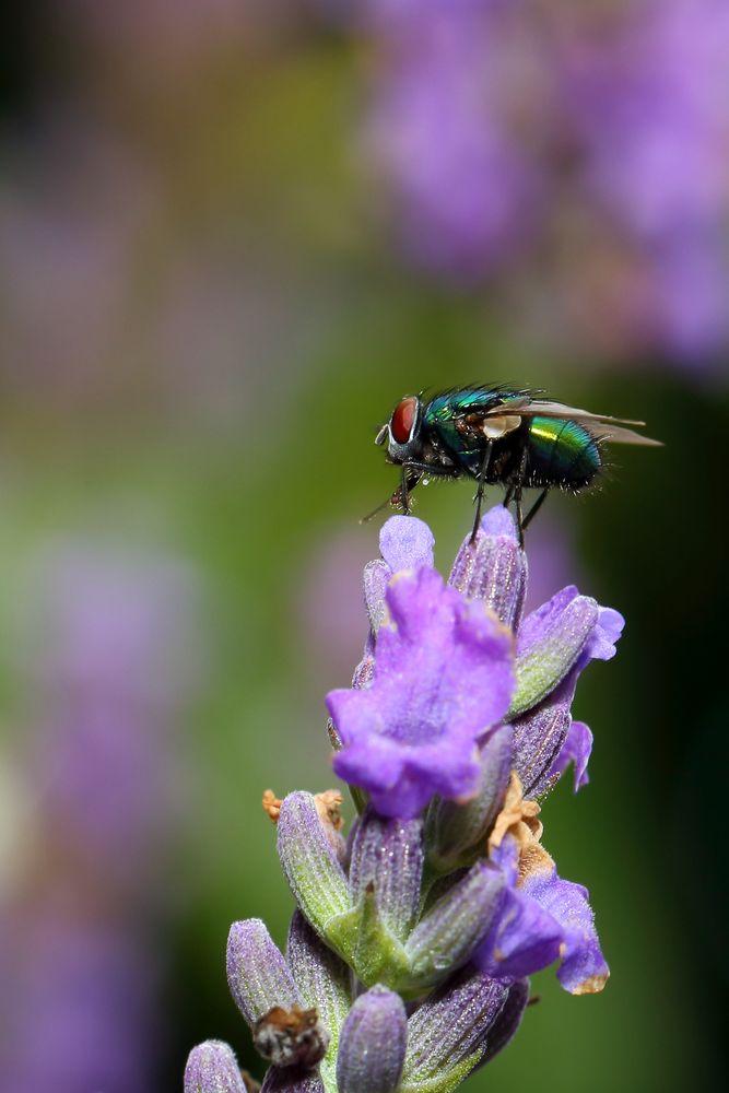 Goldfliege auf Lavendel