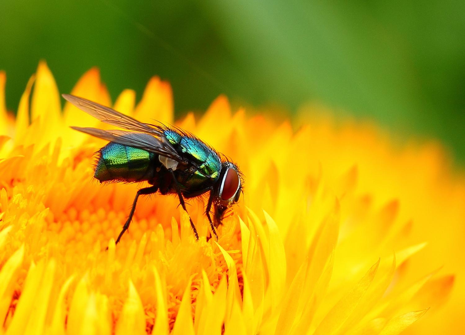 Goldfliege beim Herbstsnack an Strohblume