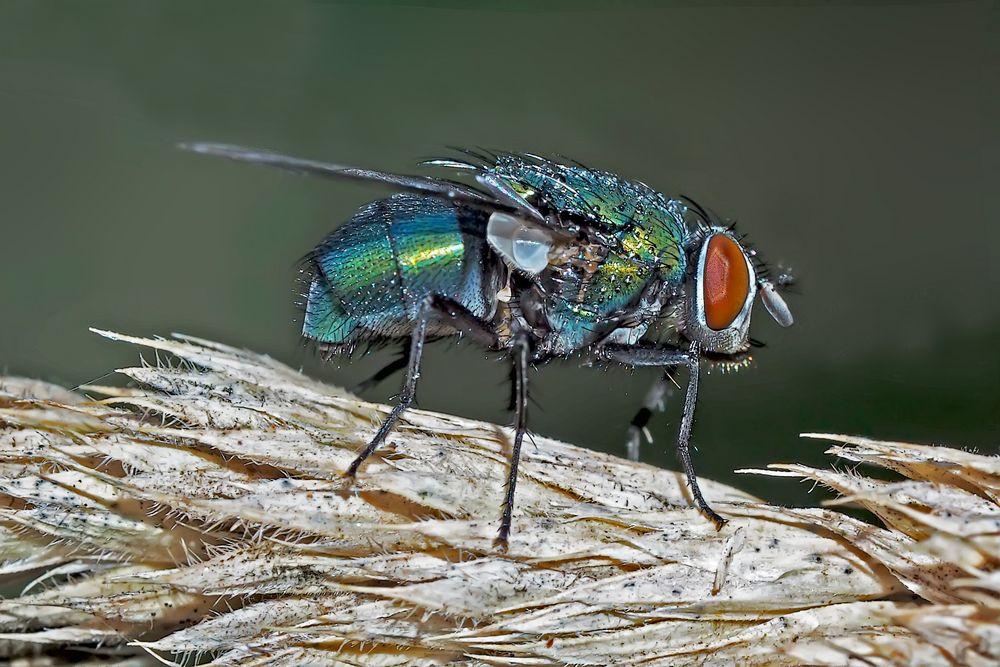 Goldfliege (Lucilia sericata ?) - La lucilie soyeuse ou mouche verte.