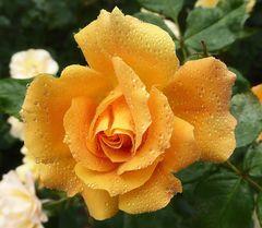 goldgelbe Rose mit Tropfen