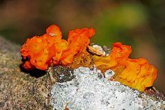 Goldgelber Zitterling: Pilze im Winter! - A la recherche de couleurs en hiver...